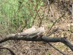 two_doves.jpg